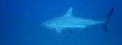 Žralok bělavý, také zvaný býčí Foto: Neil DeMaster Flickr.com