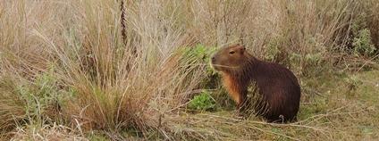 Kapybara Foto: Alejandro Cuffré Flickr
