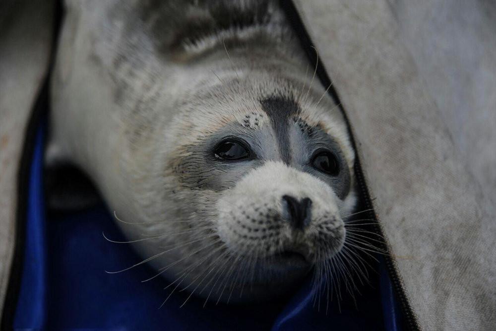 Na pobřeží Kaspického moře bylo nalezeno 150 uhynulých vzácných tuleňů
