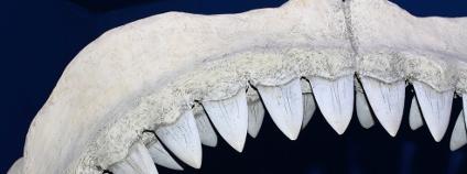 Žraločí čelist Foto: ella1977 Shutterstock