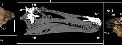 Ceratosuchops Foto: Dan Folkes, Nature Wikimedia Commons