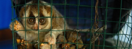Foto: The Kukang Rescue Program