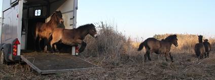 Ochránci přírody vypustili do přírody na Pardubicku divoké koně Foto: Česká krajina