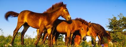 Divocí koně v Milovicích Foto: Michal Köpping Česká krajina