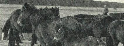 D�lmensk� pony Foto: �esk� krajina