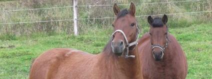 Koně z plemena hucul Foto: Česká krajina