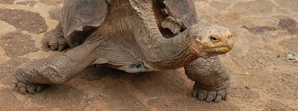 Želva chelonoidis Foto: jdegenhardt Flickr.com