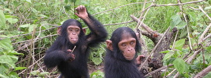 Mladí šimpanzi. Foto: Delphine Bruyere / Wikimedia Commons