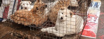 Psi prodávaní na čínském trhu Foto: Paul Vasarhelyi Shutterstock.com