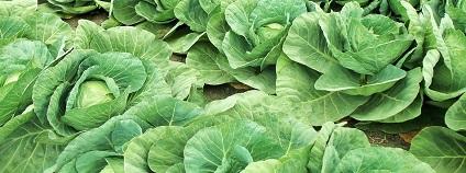 Pěstování zelí Foto: jcesar2015 pixabay
