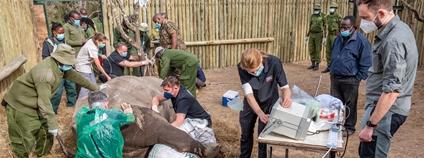 Vědci vytvořili další embrya ohrožených nosorožců bílých severních (duben 2021) Foto: Rio the Photographer ZOO Dvůr Králové