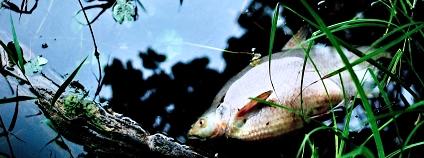 Foto: mrtvá ryba  Jerzy Górecki Pixabay