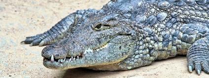 Krokodýl nilský Foto: Ozan Flickr