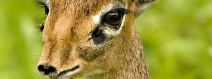 Antilopa dik dik Foto: David Dennis Flickr