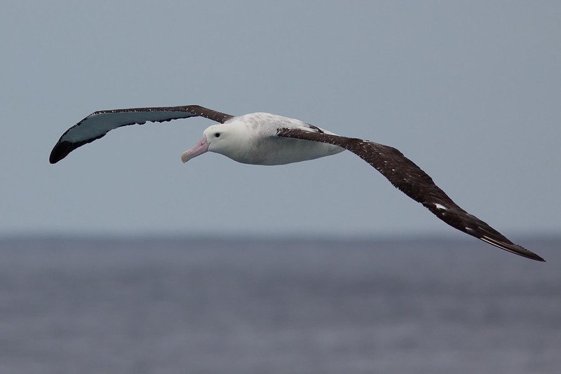 Albatrosy a buřňáky chrání v Namibii jednoduchý trik. Barevné hadice na rybářských lodích