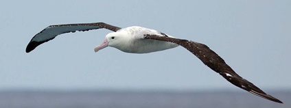 Albatros stěhovavý v Namibii Foto: Craig Adam Flickr