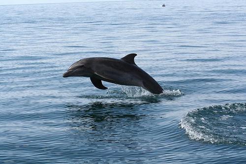 Delfín v moři u Kostariky