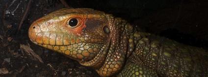 Dracaena guianensis Foto: Brian Gratwicke Flickr.com