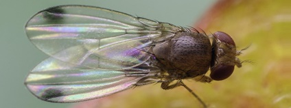 Drosophila suzukii Foto: Oregon Department of Agriculture Flickr.com