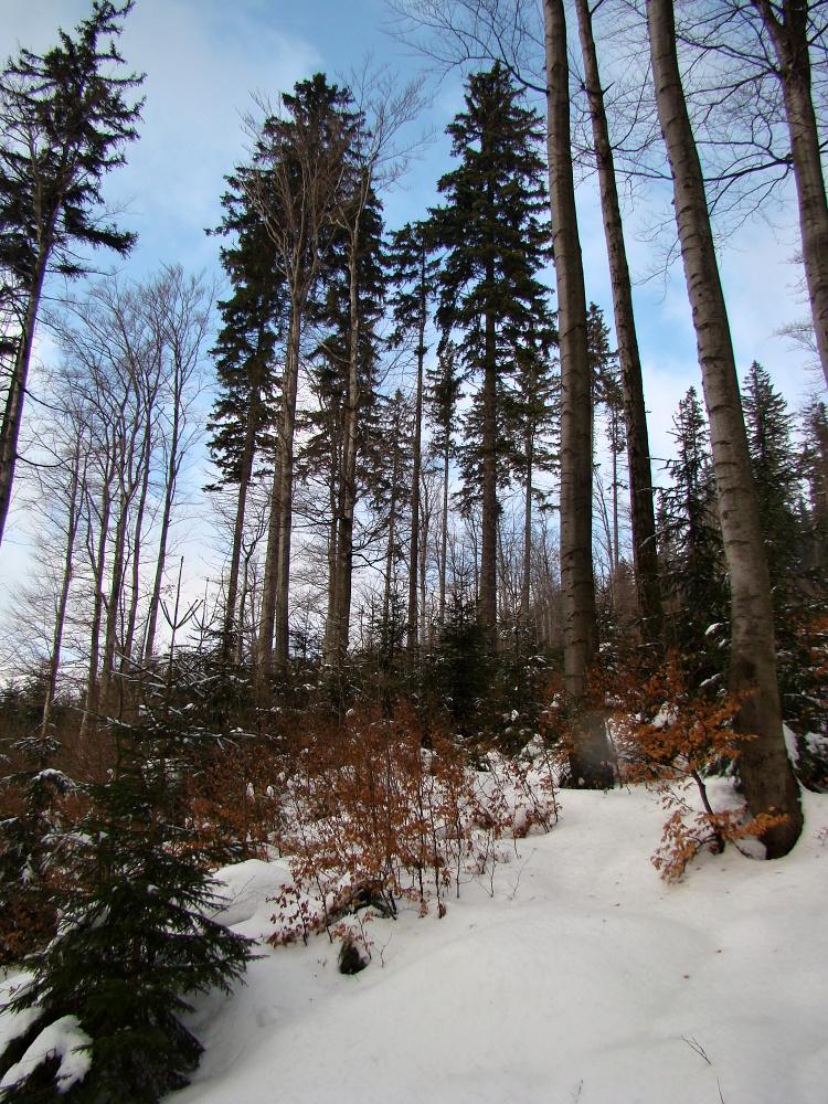 Smíšená přirozená obnova v FSC certifikovaných lesích Krkonošského národního parku