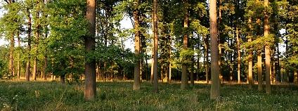 Nádherné dubové porosty zakládali Lichtenštejnové ze žaludů dovezených z lužních lesů v nivách řek Sávy a Drávy, odtud je původ názvu pro tyto duby – Slavonské duby. Jedná se o dub letní slavonský, (Quercus robur, subsp. slavonica) Poslední zbytky těchto porostů se nacházejí ve všech lužních komplexech lesního závodu Židlochovice.