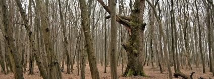 Když starší solitér zaroste lesem, ocitá se v pozici staříka, který s dorostenci závodí o život. Přerostou ho a zastíní, napřed ztratí nejnižší větve, pak zůstane jen pár živých větví v úplném vrcholu koruny a pak...