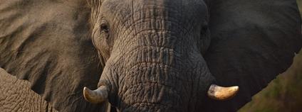 Slon africký (Loxodonta africana) Foto: Fibrel Pixabay