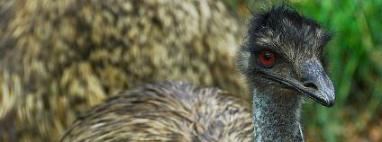 Nelétavý pták emu Foto: Richard Fisher Flickr