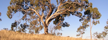 Eukalyptus Foto: Matilda Wikimedia Commons