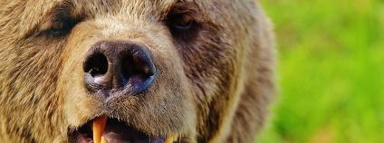 Medvěd hnědý Foto: Alexas_Fotos Pixabay