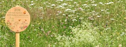 Extenzivně sečený trávník u výstaviště Foto: Calla