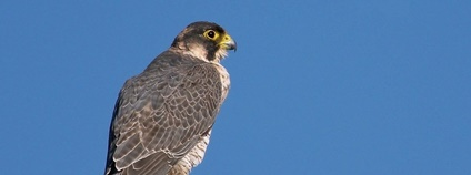 Sokol šahin - Falco pelegrinoides Foto: Frank Vassen Flickr.com