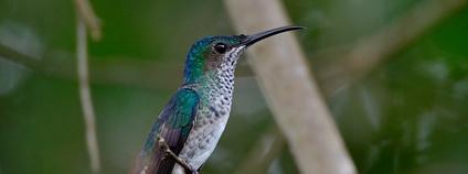 Kolibřík bělokrký Foto: Arley Vargas Flickr