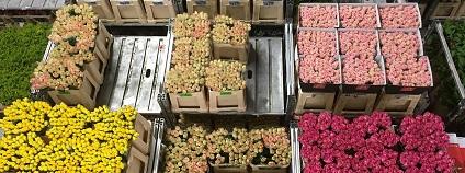 V Aalsmeeru nedaleko Amsterodamu se nachází největší trh s květinami na světě, úplné logistické centrum pro obchod s květinami v Evropě Foto: sabinevanerp pixabay.com