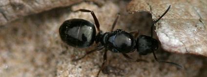 mravenec �ernohn�d� Foto: S. Rae / Flickr
