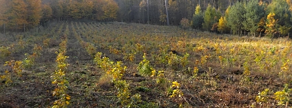 Toto není výsadba dubu zimního, ale výsadba meliorační a zpevňující dřeviny, protože by vysazován pouze jeden druh, mohla by to být i dřevina základní cílová.