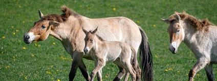 Boom hříbat koní Převalského v Dolním Dobřejově Foto: Zoo Praha