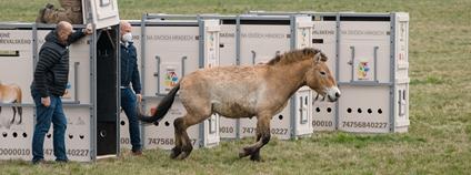 V ohradě na západě Prahy jsou ode dneška k vidění koně Převalského Foto: Petr Hamerník Zoo Praha