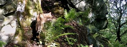 Kočka divoká zachycená fotopastí na konci května 2019 na Karlovarsku v Doupovských horách.