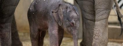 Mládě slona indického v Zoo Praha
