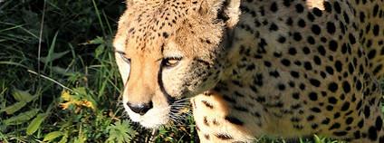 Gepard Foto: Joachim S. Müller / Flickr.com