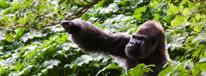 Gorila horská Foto: Richard Ashurst Flickr.com