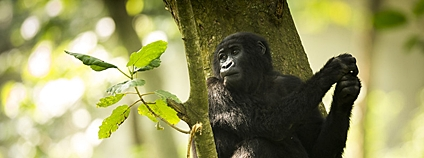 Gorila v parku Virunga Foto: Joseph King Flickr