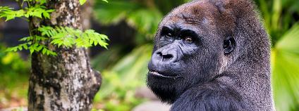 gorila nížinná Foto: wbeem Flickr