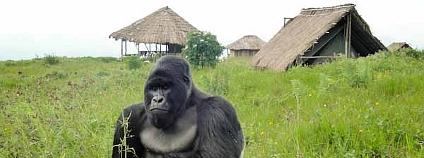 Gorila horská v národním parku Virunga Foto: Innocent Mburanumwe Wikimedia Commons
