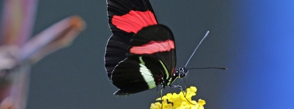 Motýl Heliconius melpomene Foto: Charles James Sharp Wikimedia Commons