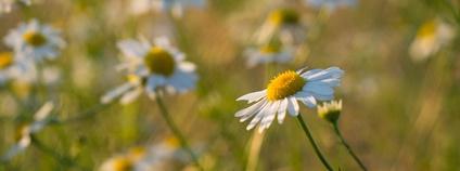 Heřmánek Foto: Kamil Chrystman Flickr.com