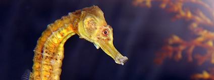 Mořský koník Foto: Vic DeLeon Flickr