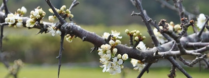 Květy hlohu Foto: carolyngifford Flickr