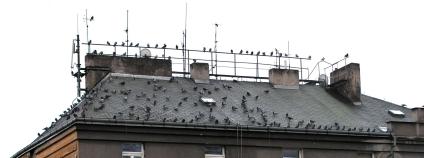 Potenciální Vítkovské hejno holubů. Adepti na první možný holubník v Praze na Vítkově.